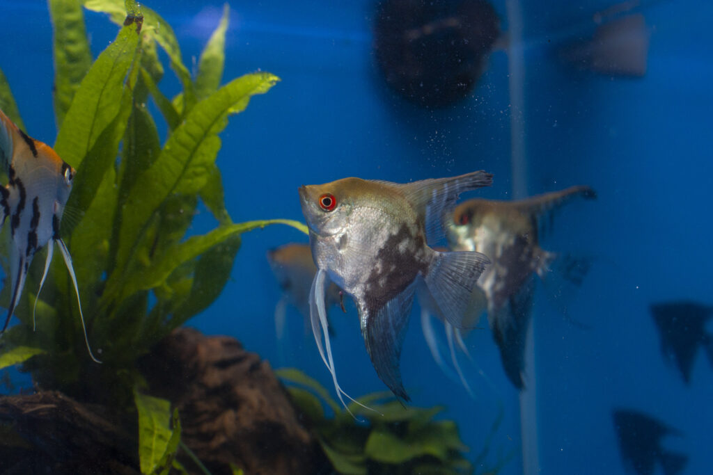 Angelfish in aquarium